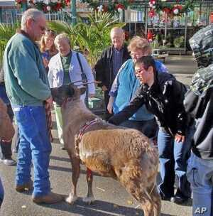 Ed Benhardt, in green jacket, instantly draws a crowd with his live reindeer.