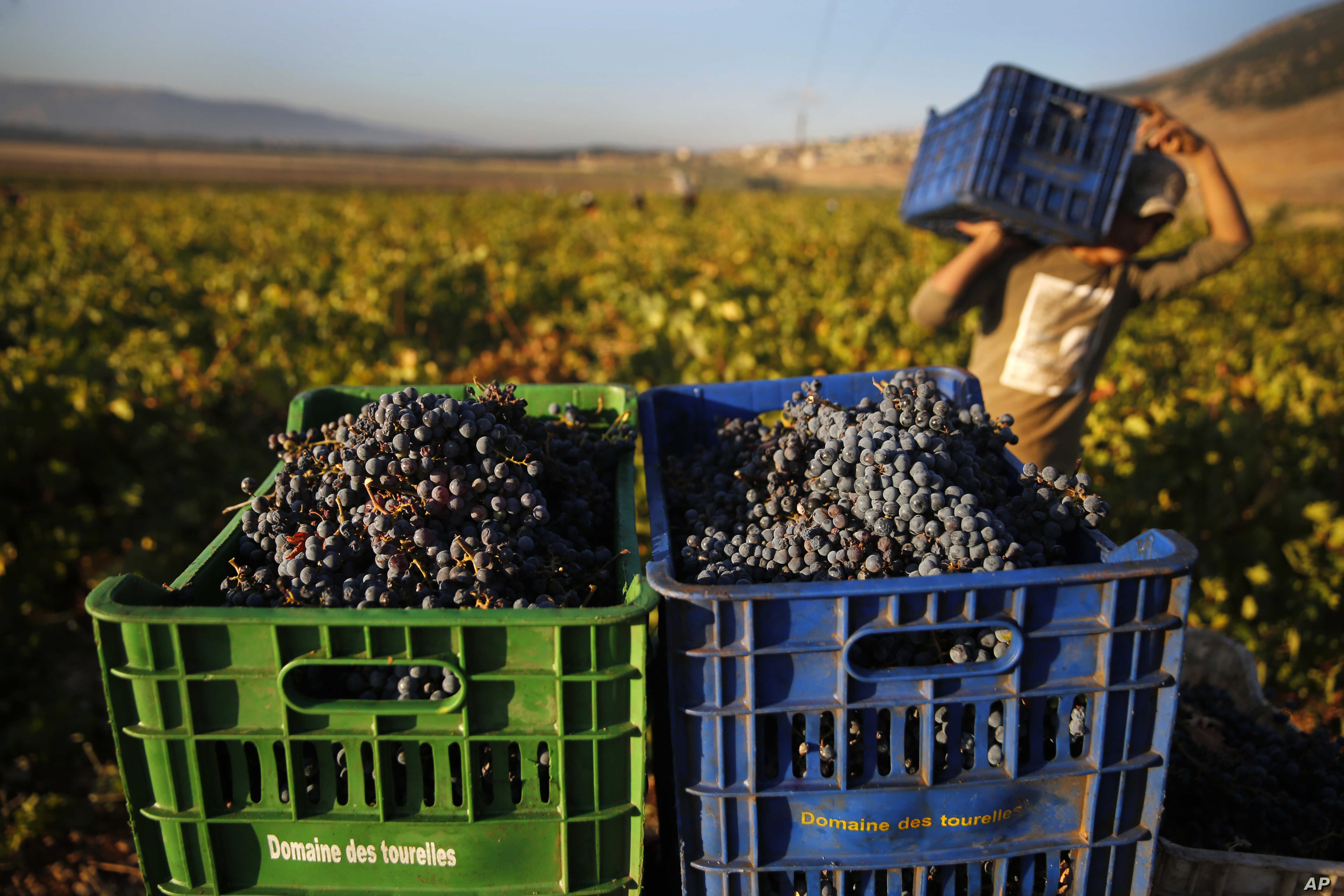 A Syrian worker harvests Syrah grapes, which will be crushed, fermented and after triple distillation will become Lebanon's national alcoholic drink, arak, in the village of Ammik, east Lebanon.