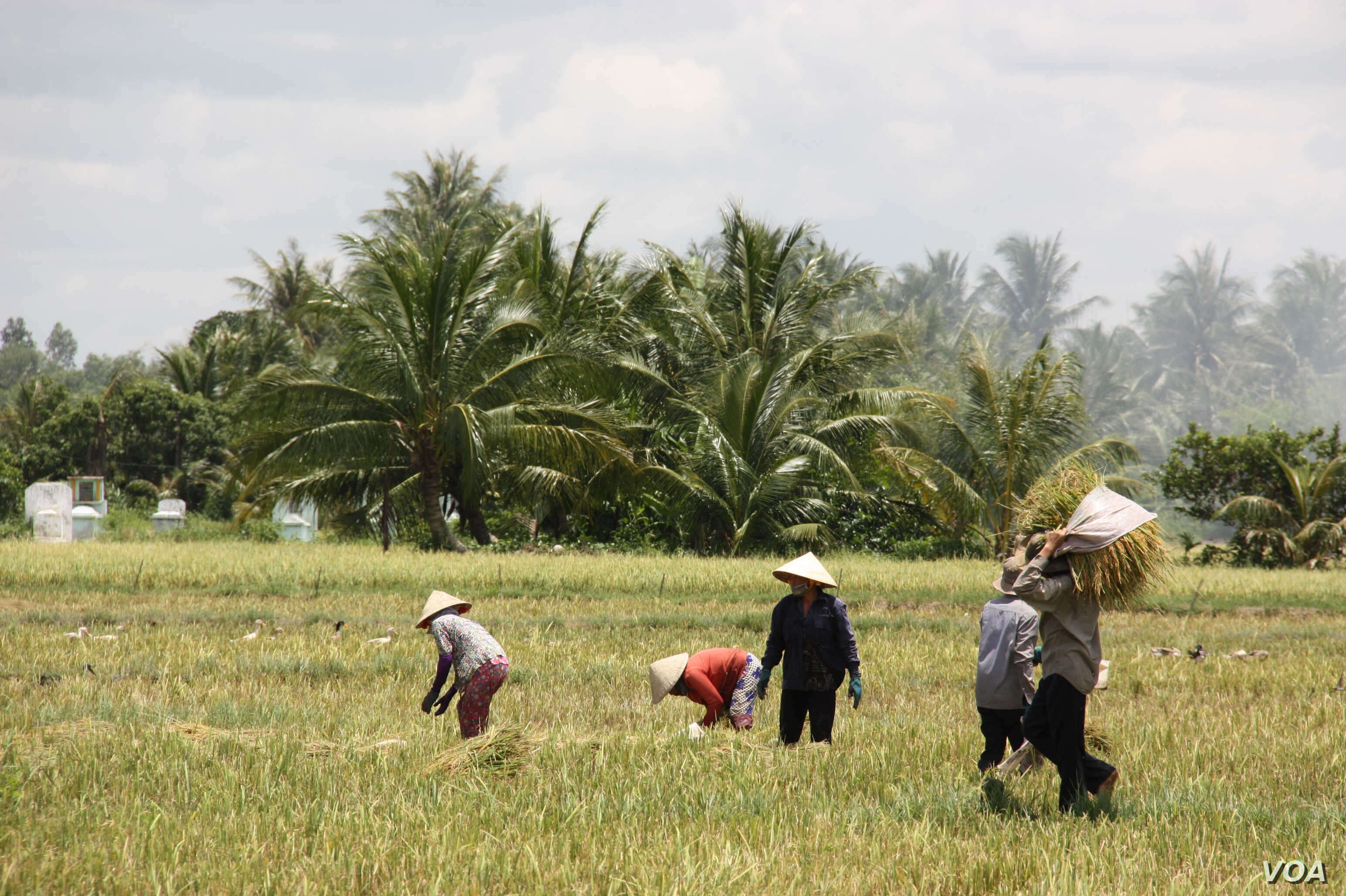 Laborers gather rice grains for stacking, Tien Giang, Vietnam, September 14, 2012. (D. Schearf/VOA)