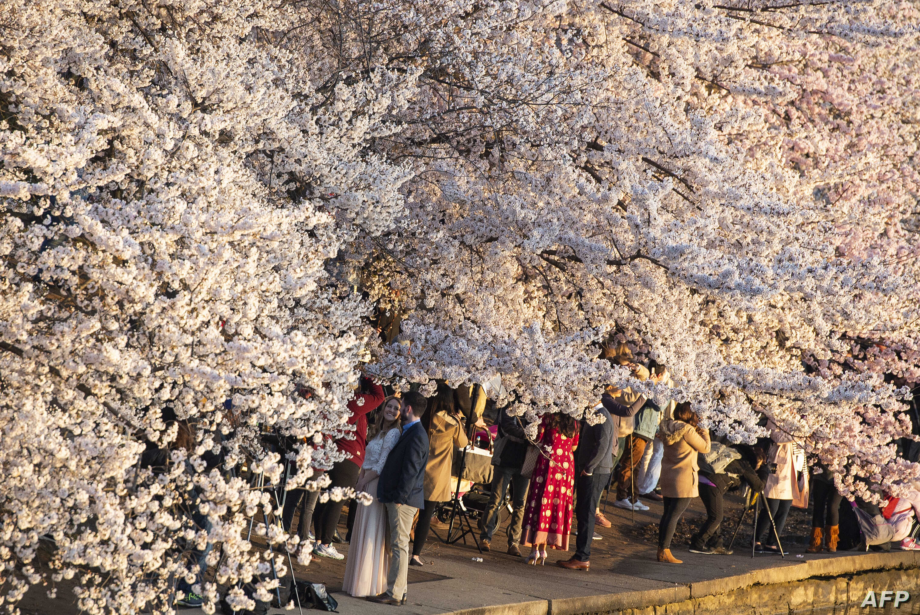 Dc S Cherry Blossoms At Risk From Popularity Floodwaters Voice