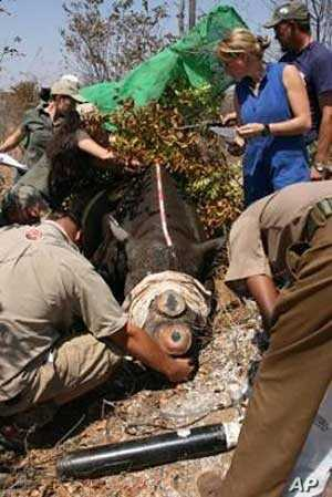 The IAPF, assisted by wildlife veterinarians, surgically removes the horns of some rhinos to prevent them from being targeted by poachers