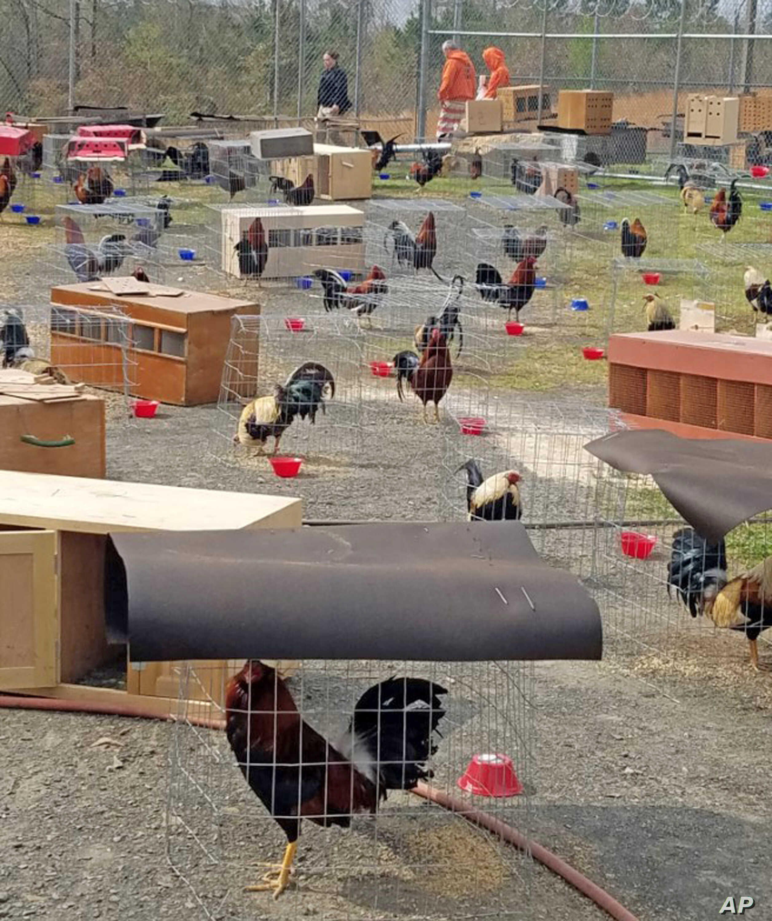 This March 23, 2018 photo provided by the Sevier County Sheriff's Office in De Queen, Arkansas, shows some of the 200 roosters seized during a raid at a cockfight, March 17, 2018.