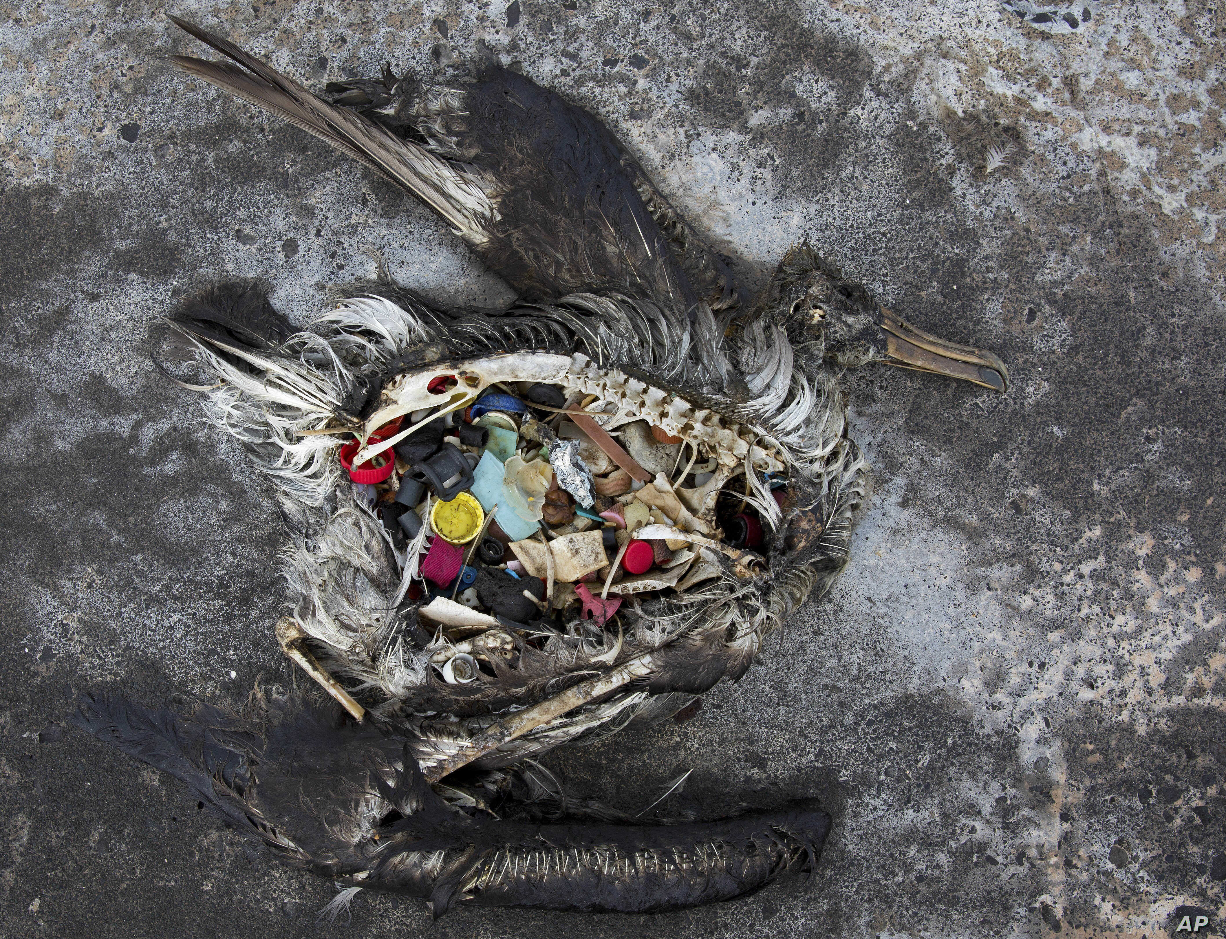 FILE - A black footed albatross chick with plastics in its stomach lies dead on Midway Atoll in the Northwestern Hawaiian Islands in this Nov. 2, 2014, photo provided by the U.S. Fish and Wildlife Service. The remote atoll is now a delicate sanctuary...