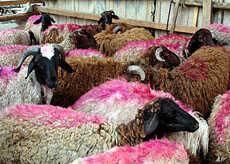 Sheep marked for slaughter during the Festival of Sacrifice, in Cairo, Egypt, November 3, 2011.