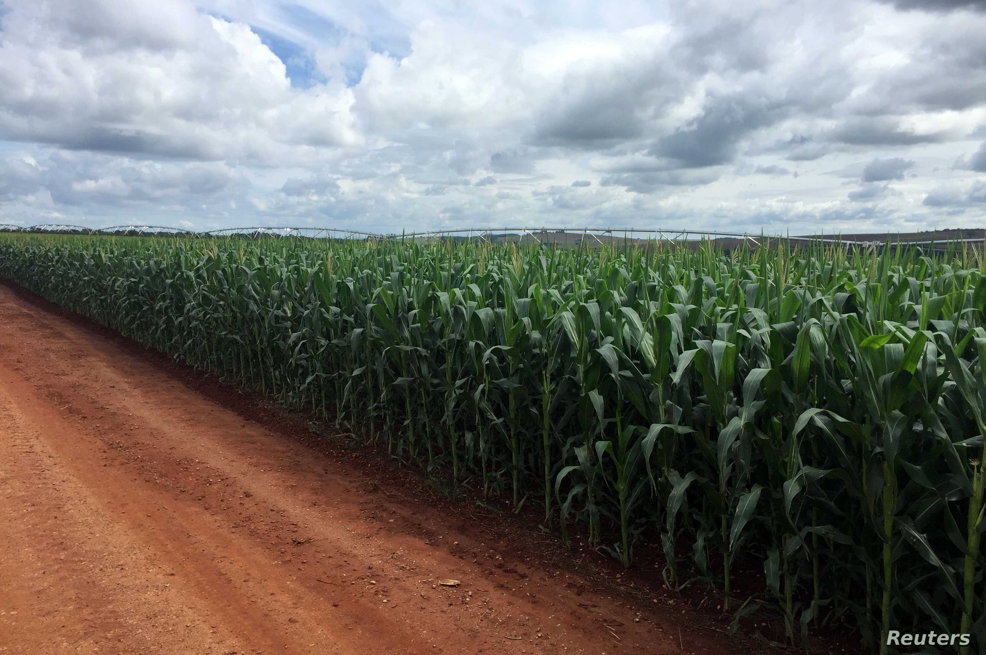 A corn crop is seen at Cercado Grande farm, where expansion of grains cultivation led the farm to scrap a contract with a sugar mill for cane planting in Itajai, Sao Paulo state, Brazil, April 1, 2018.