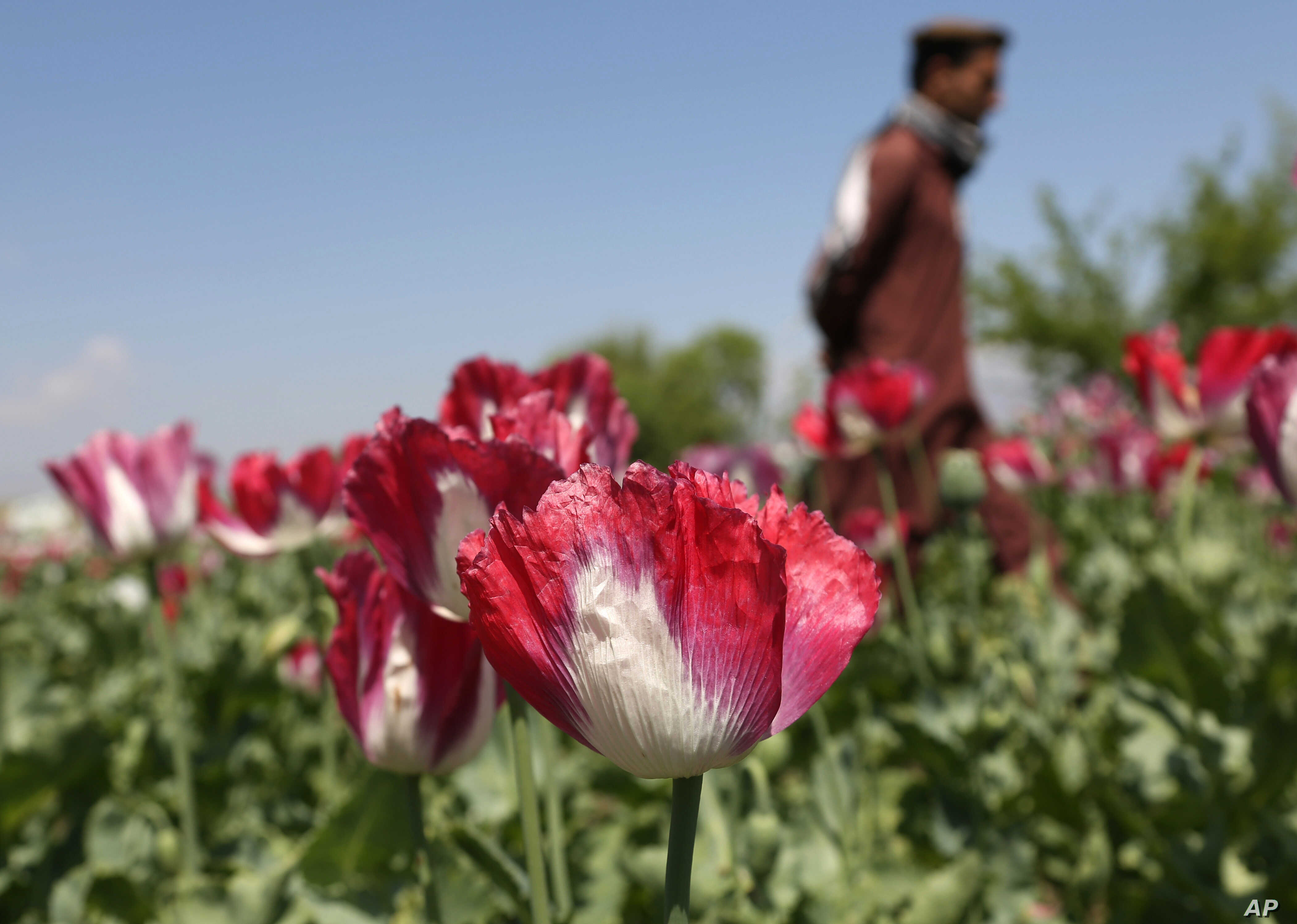 FILE - Afghan boy walks through a poppy field to harvest opium, the main ingredient in heroin, in the Khogyani district of Jalalabad, east of Kabul, Afghanistan.