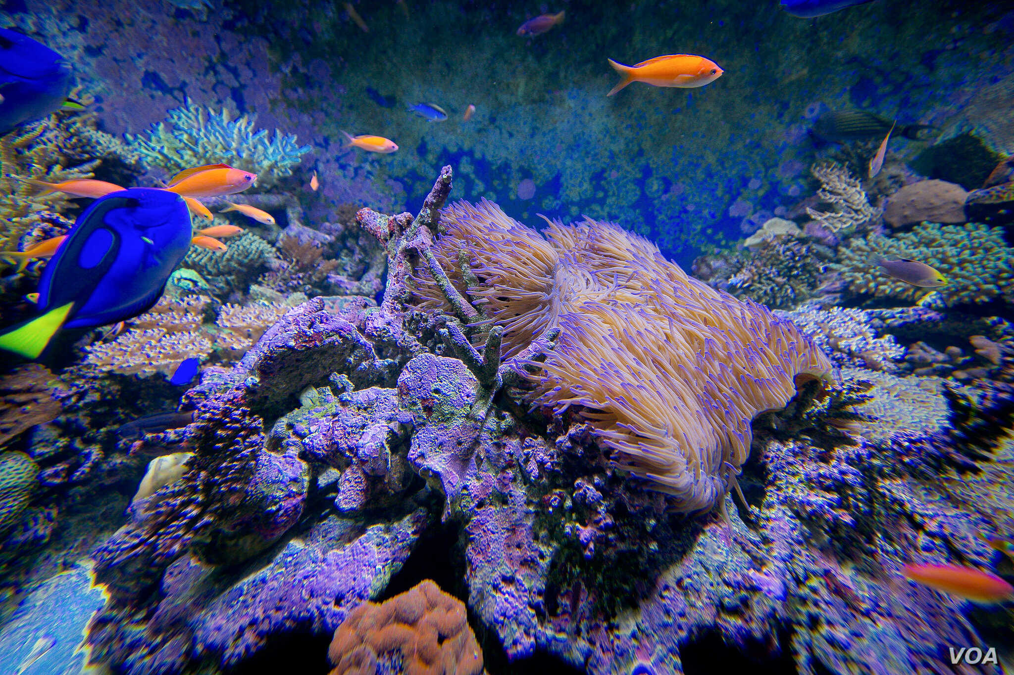 Live on shore reef coral in a of a state-of-the-art research marine aquarium complex (SeaSim) at the Australian Institute of Marine Science,Townsville, March 19, 2015. (Courtesy Image, DFAT / Patrick Hamilton).