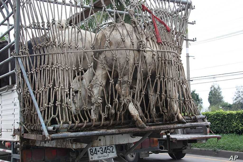 Livestock getting evacuated from a farm on the outskirts of Bangkok, Thailand is stuck in traffic. – VOA Photo G. Paluch