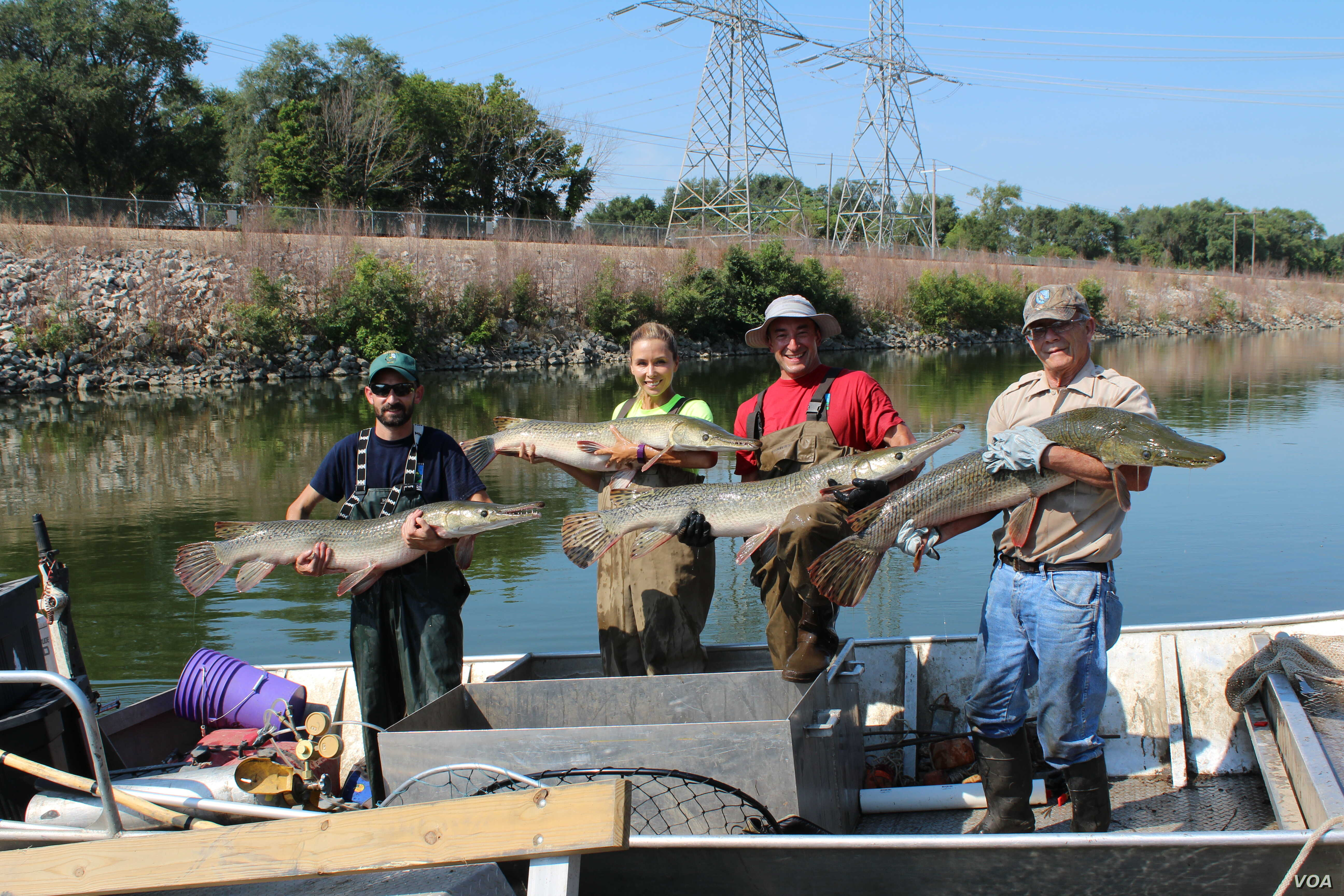 Illinois' Powerton Lake was stocked with alligator gar in 2011, to re-establish a population and offer a challenge to sport fishermen.