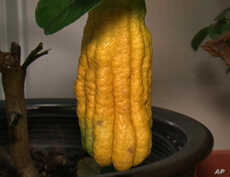 Among Ruth Kassinger's prized citrus varieties is this Buddha's Hand, native to more tropical climes.