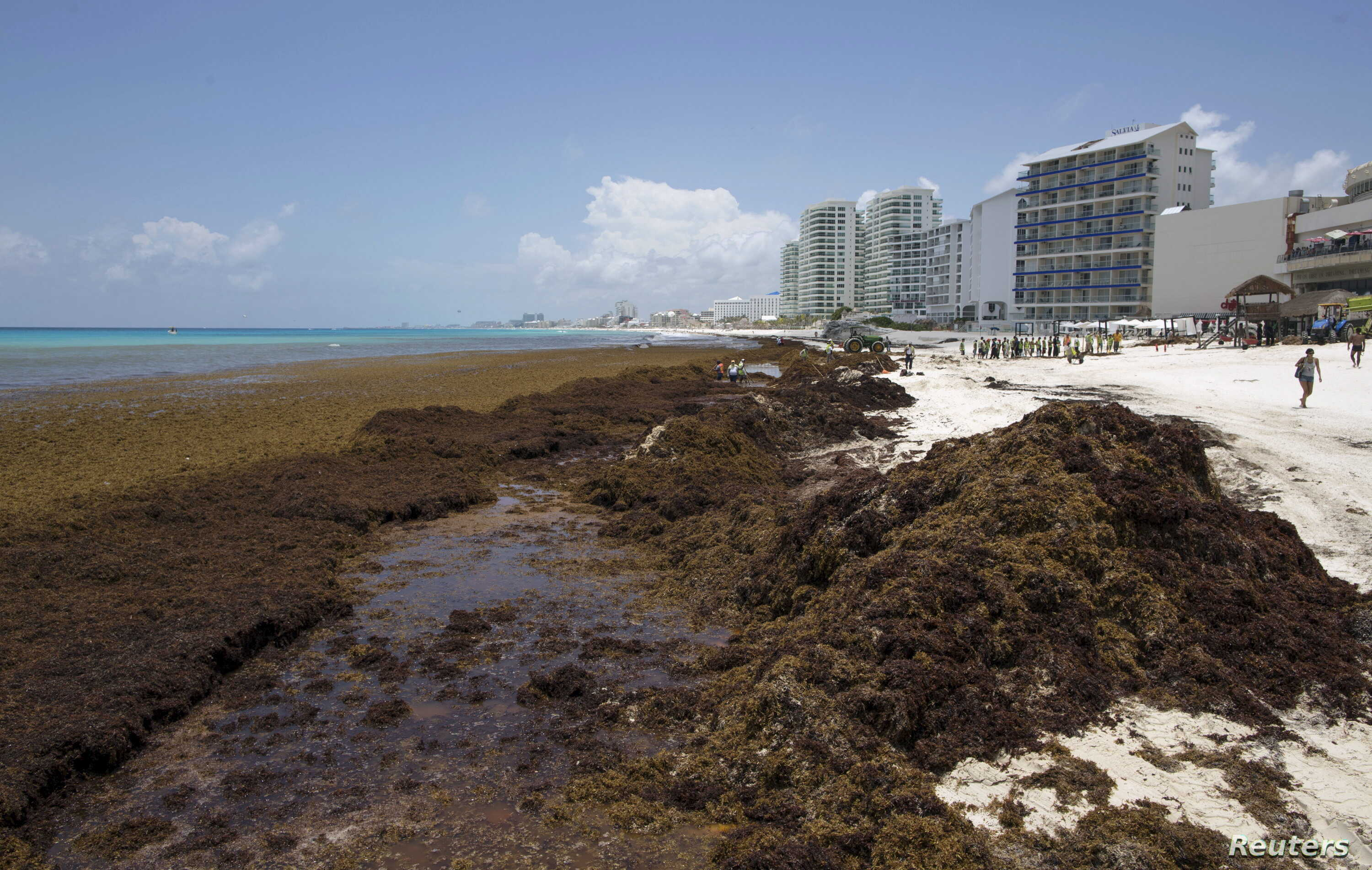Stinking Mats of Seaweed Piling Up on Caribbean Beaches | Voice of