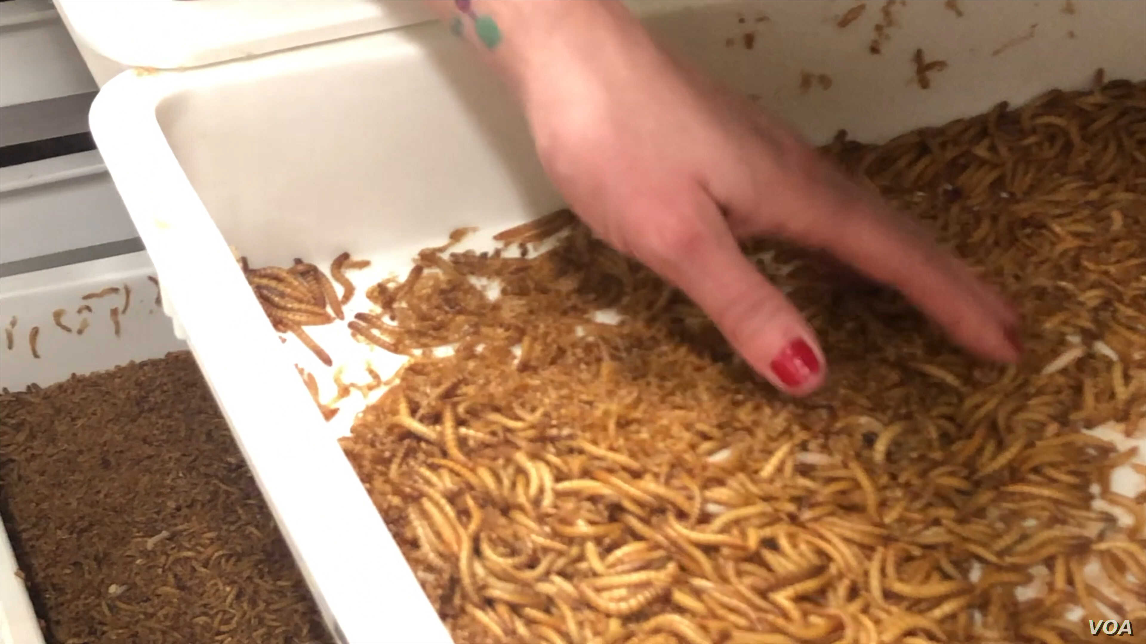 Wendy Lu McGill raises mealworms and crickets to sell to restaurants and food manufacturers.