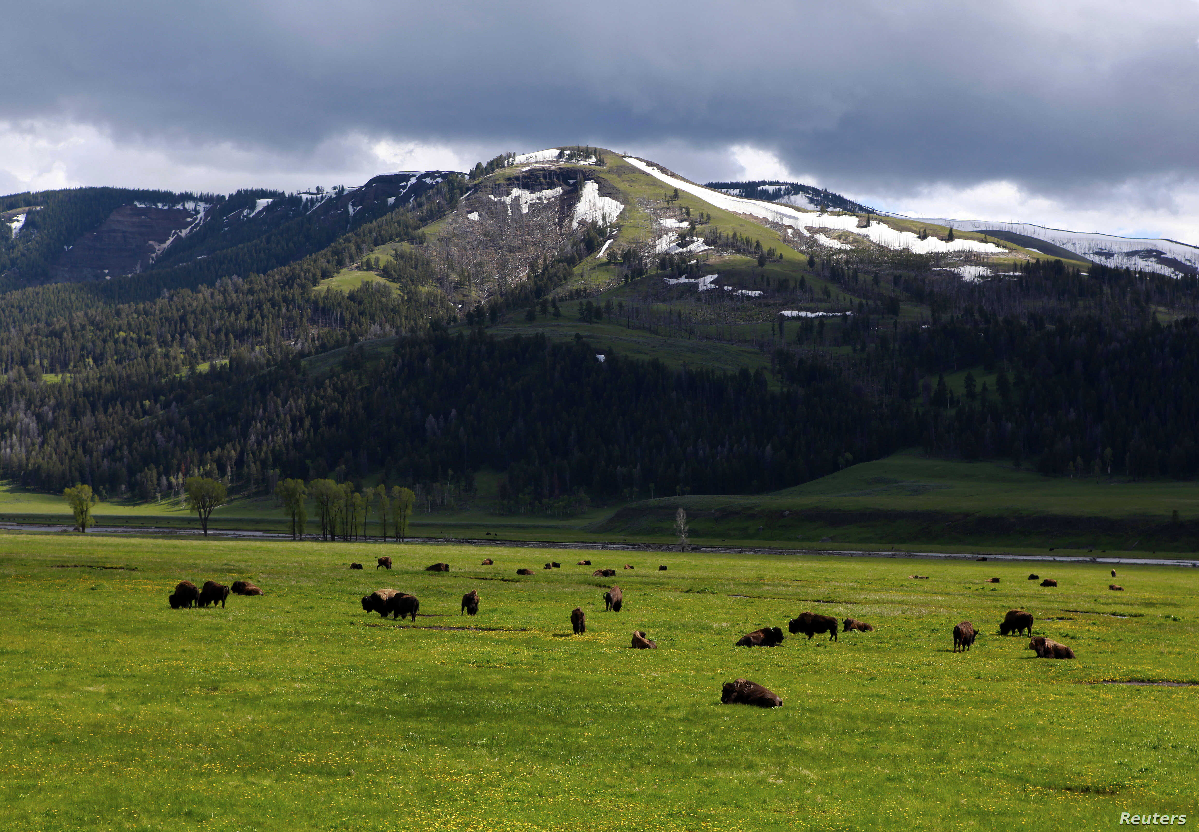 A herd of buffalo graze in the Lamar Valley in Yellowstone National Park, Wyoming, June 20, 2011.