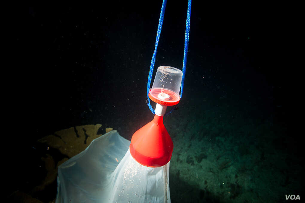 Nets and bottles are the tools for one method of collecting wild coral spawn.