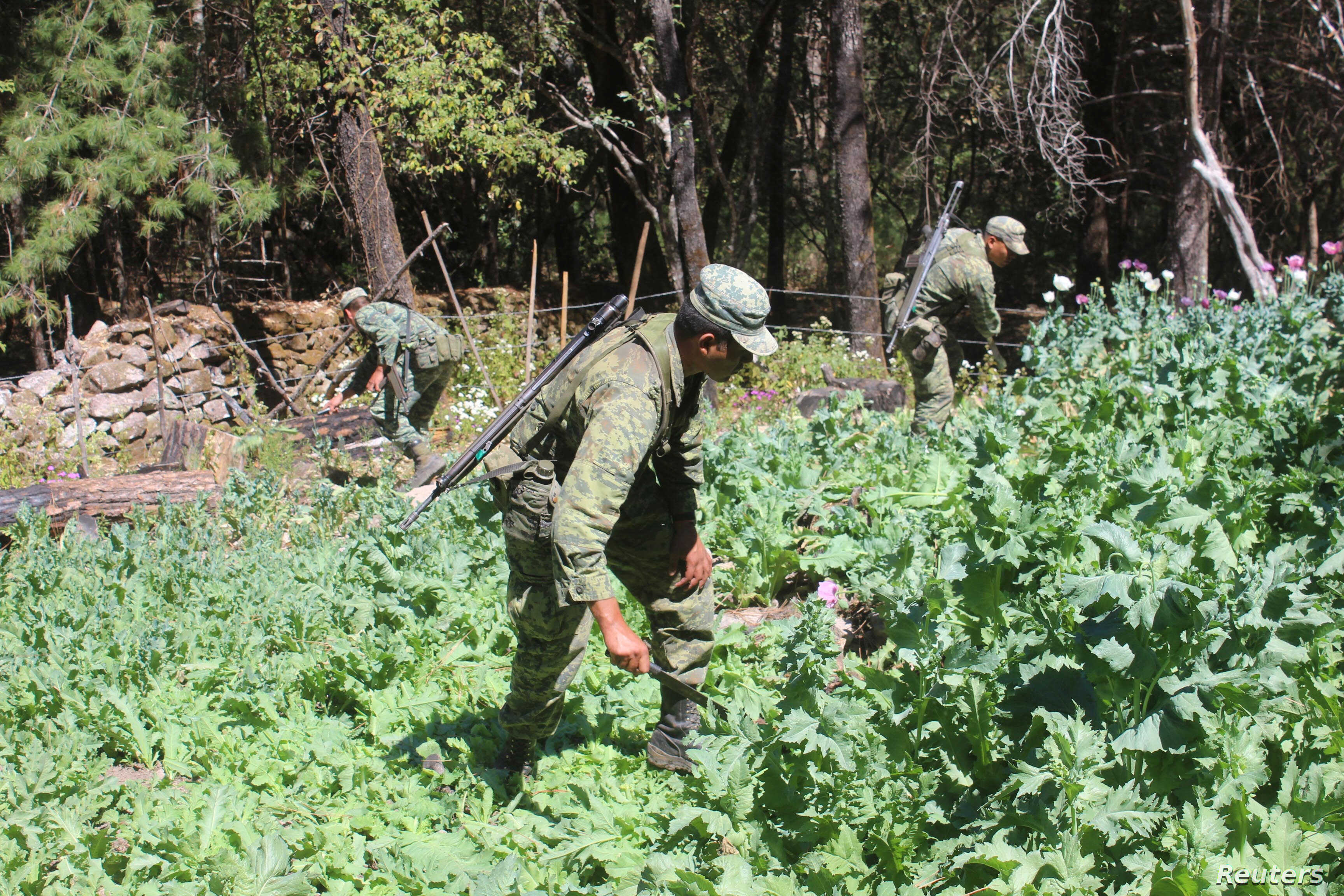Soldiers destroy poppy plants used to make heroin during a military operation in the state of Sinaloa, Mexico, March 18, 2017.