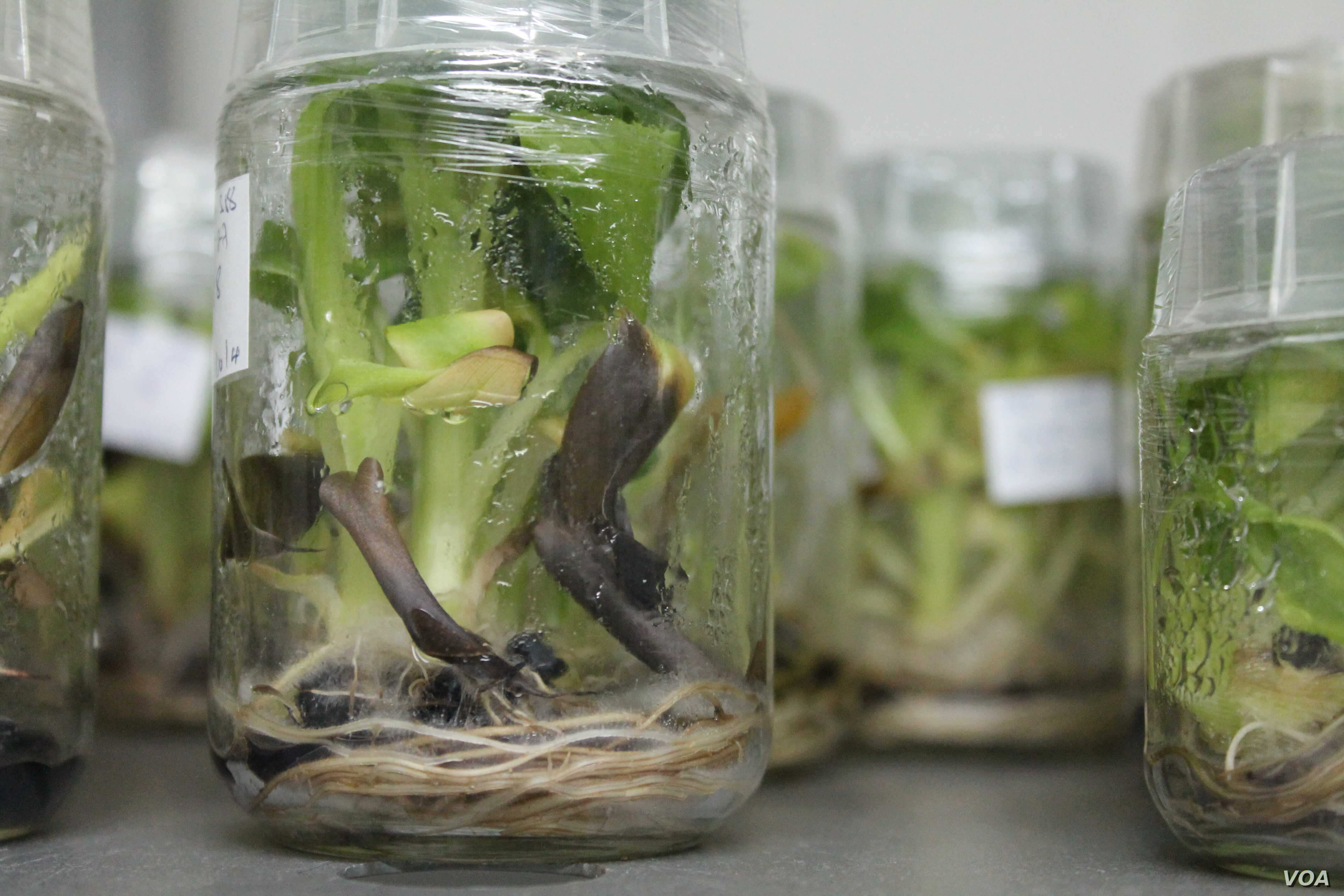 The lab at the National Agricultural Research Organization grows disease-resistant genetically modified bananas, Uganda, Sept. 13, 2013. (Hilary Heuler for VOA)