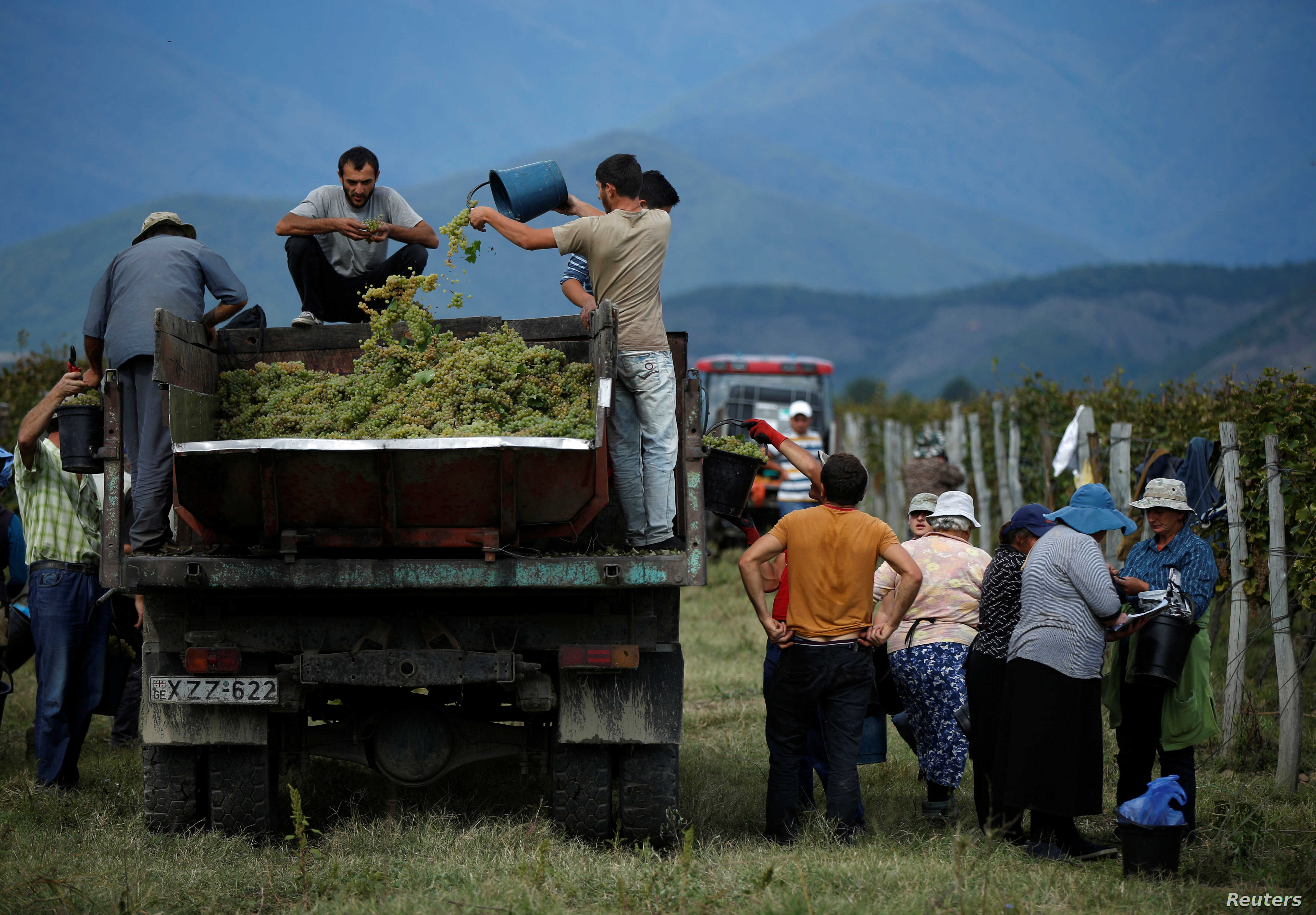 Workers load a trailer with grapes for wine during harvest in the village of Lomistsikhe, in Kakheti region, Georgia, Sept. 28, 2016.