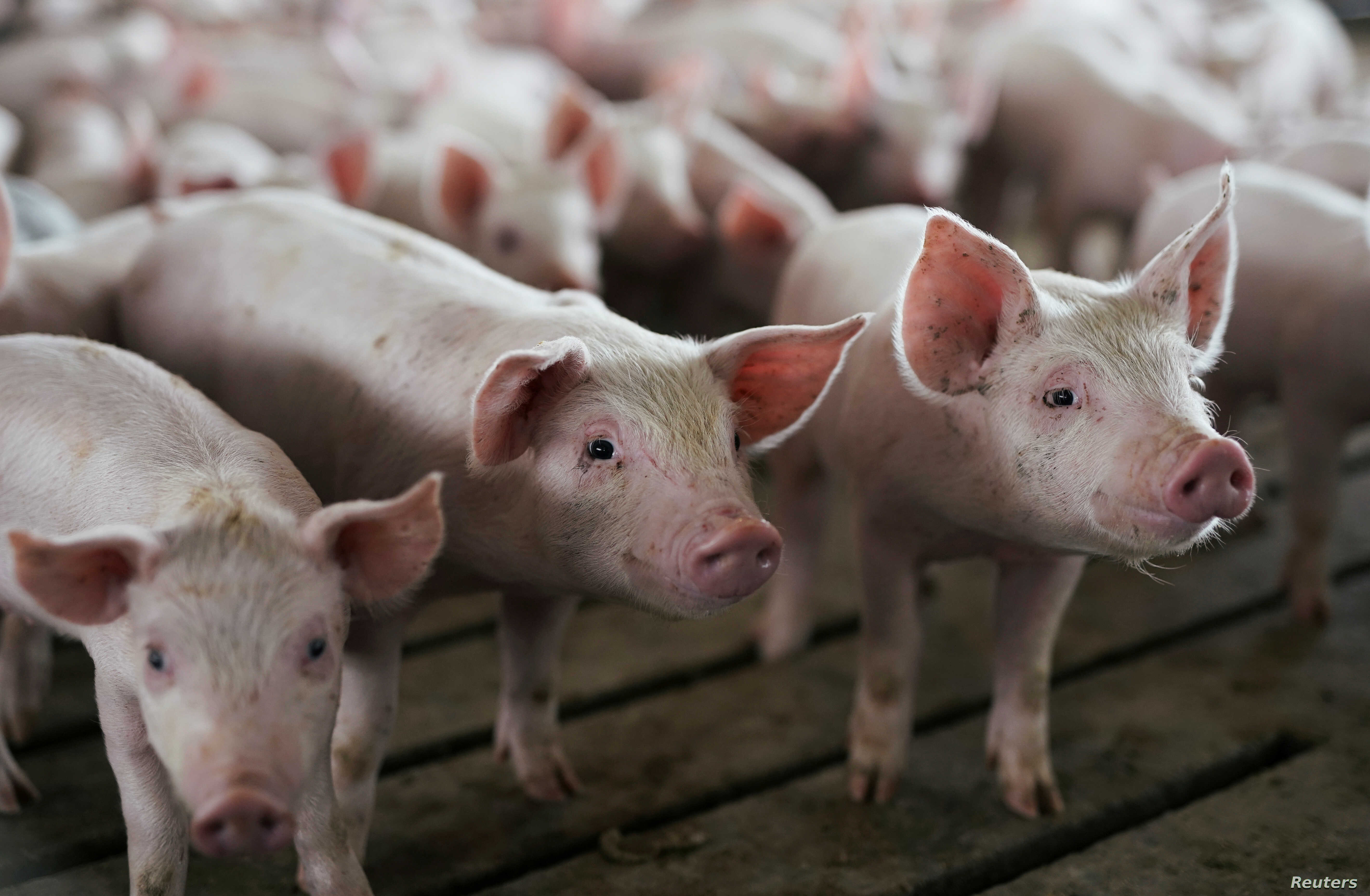 A pen of young pigs is seen during a tour of a hog farm in Ryan, Iowa, May 18, 2019.