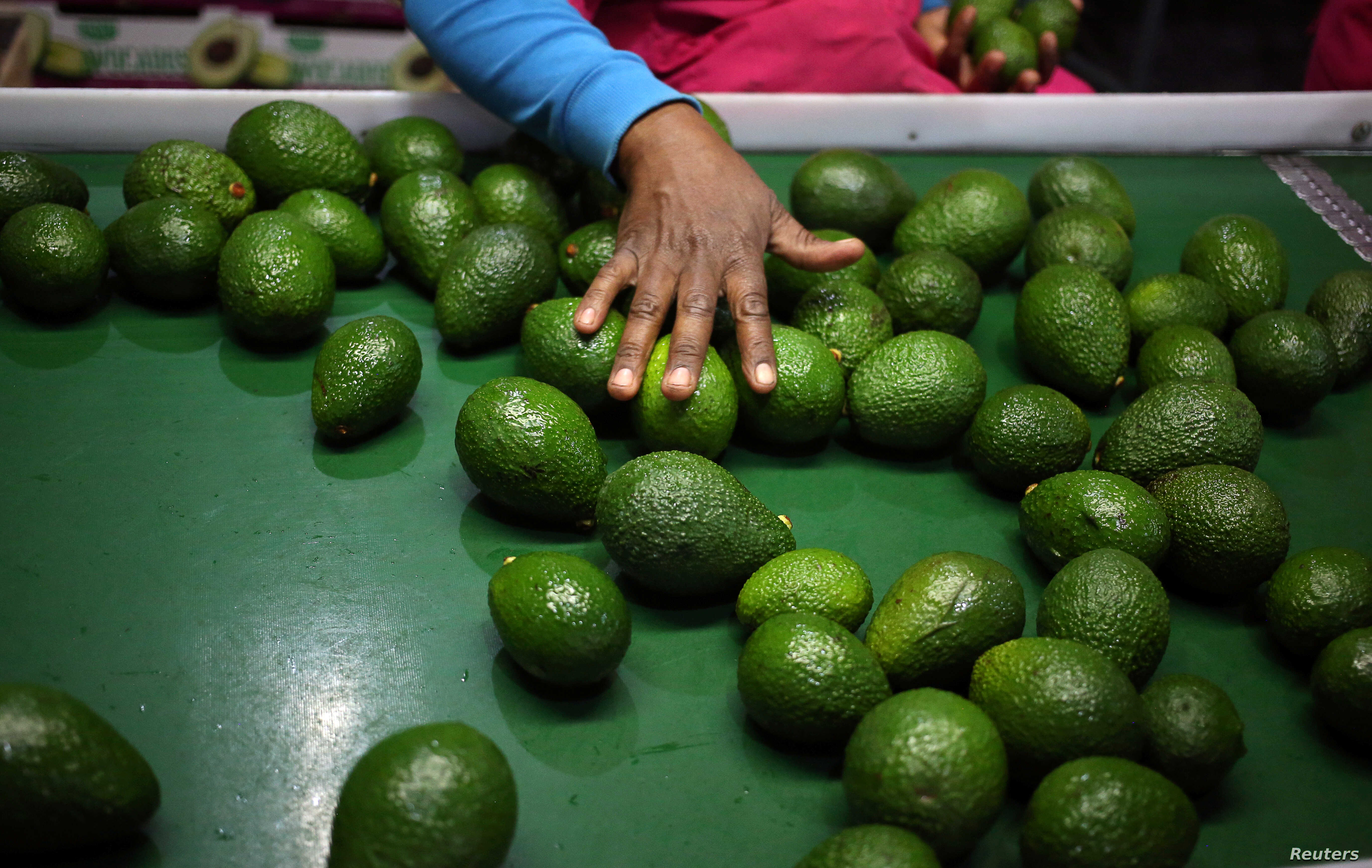 Kenya's Avocado Farmers Eye Chinese Market, But There's a