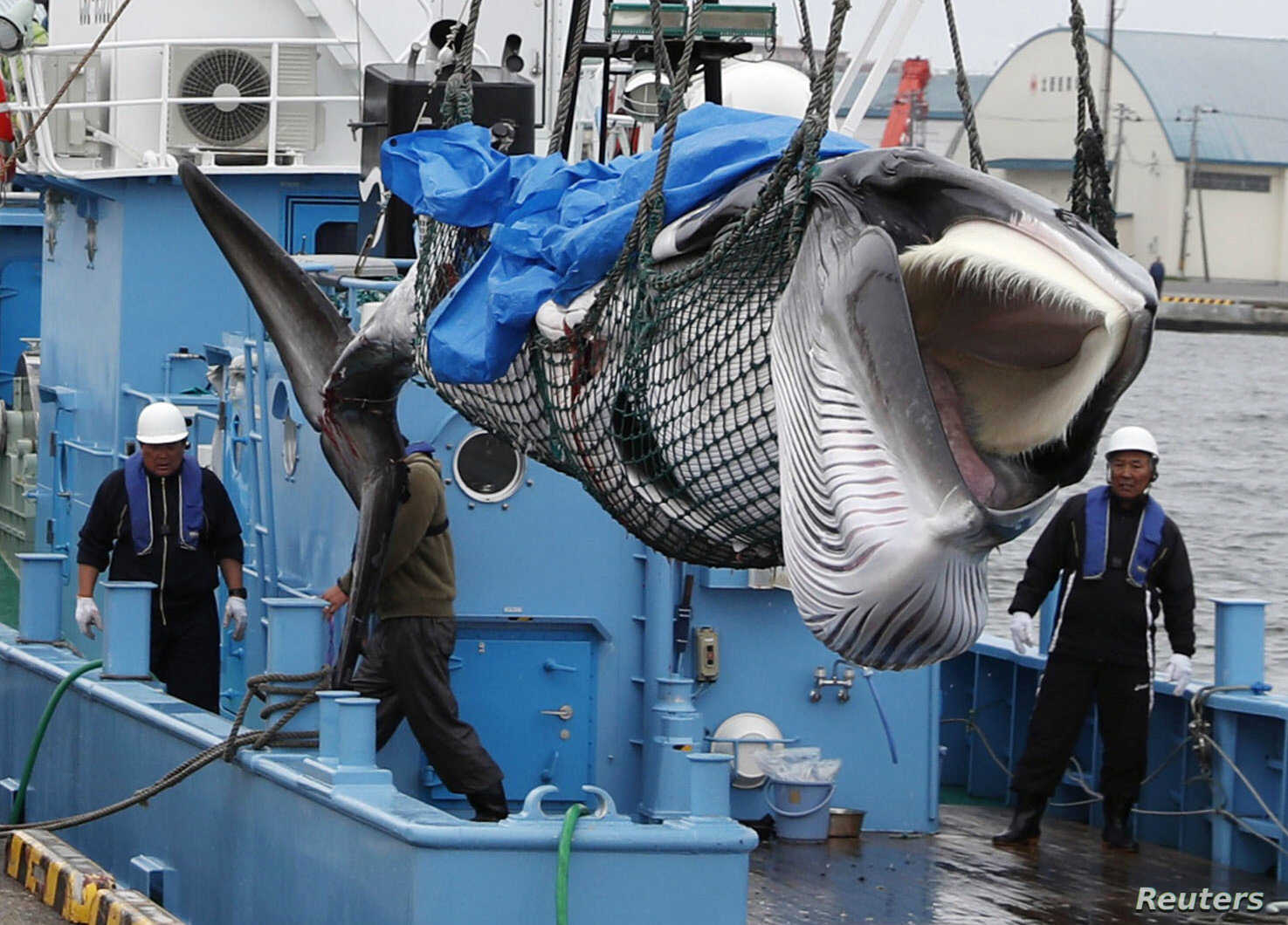A captured Minke whale is unloaded after commercial whaling at a port in Kushiro, Hokkaido Prefecture, Japan, in this photo taken by Kyodo.