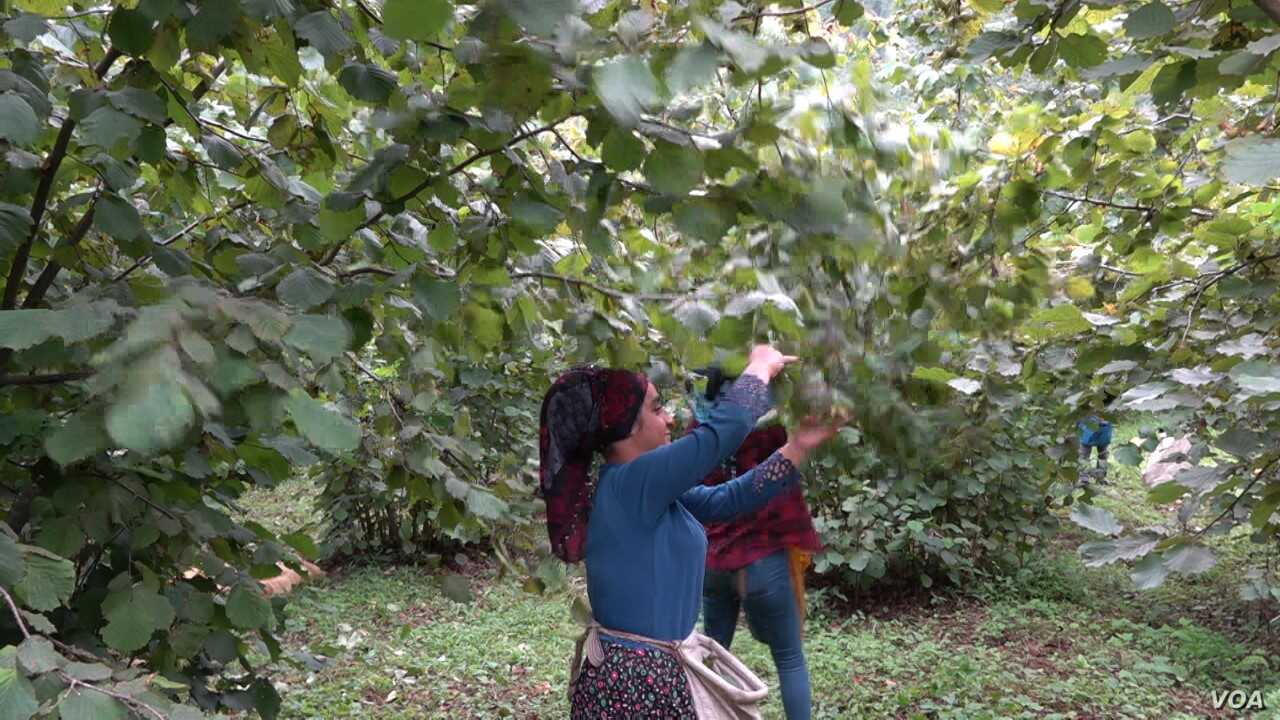 Hazelnut pickers who mostly come from Turkey's predominately Kurdish region work seven days a week, 11 hours a day for the month long season. (D. Jones/VOA)