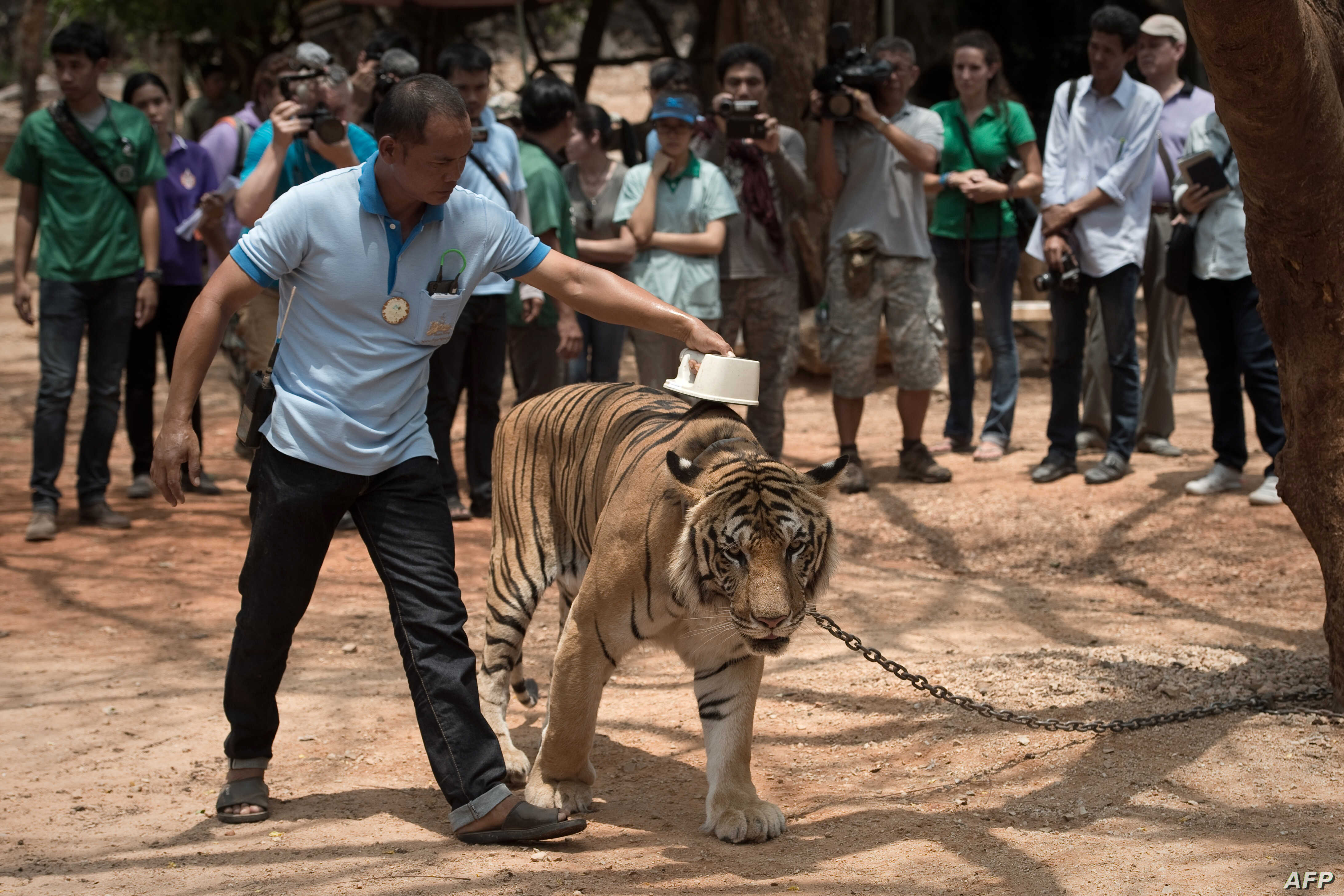 Tiger Temple Thailand Unfall