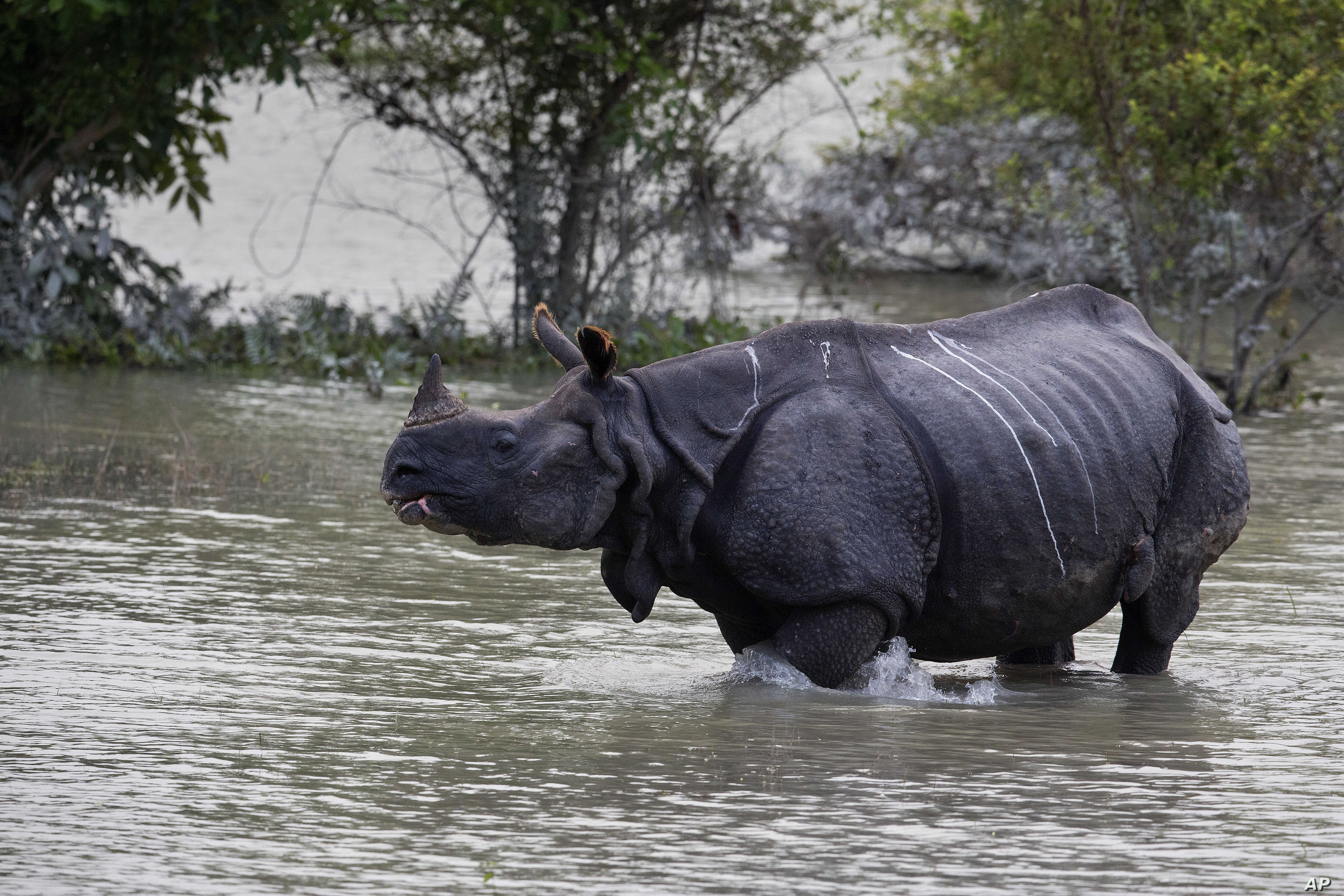 A one-horned rhinoceros walks in floodwaters in Pobitora wildlife sanctuary, east of Gauhati, India, July 19, 2019. The sanctuary has the highest density of the one-horned Rhinoceros in the world.