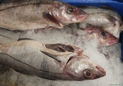 FILE - Haddock covered in ice wait to be bought at the fish market.