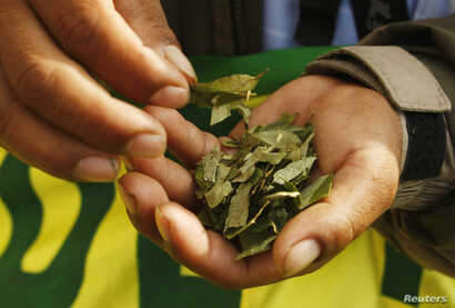 FILE - A coca grower holds coca leaves during a protest in downtown Lima, Peru, Oct. 27, 2009.