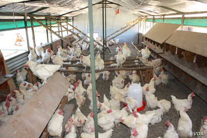 Inside one of New Harmony's noisy hen houses, where chickens are treated as humanely as possible
