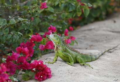 A green iguana checks out the flowers on a Bougainvillea plant, Dec. 7, 2016, in Hollywood, Fla. The invasive reptiles eat mostly leaves, flowers and fruit, and they are prolific in South Florida.