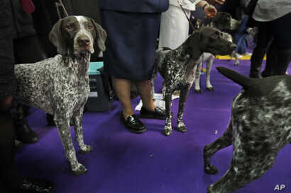 FILE -- German shorthaired pointers wait to enter the ring during the 142nd Westminster Kennel Club Dog Show in New York, Feb. 13, 2018.