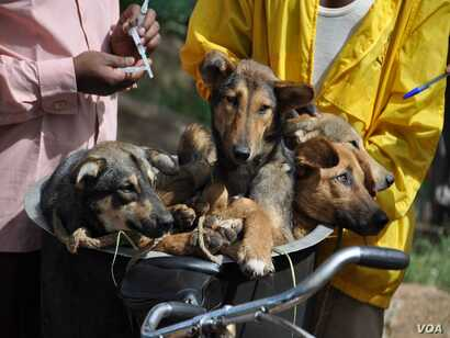 Dogs in a bicycle basket about to get their rabies vaccination in Tanzania.