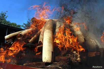 Flames rise from confiscated pieces of ivory as they are burned along with illegal wildlife parts by Myanmar's Ministry of Natural Resources and Environmental Conservation in Naypyidaw, Myanmar  October 4, 2018.