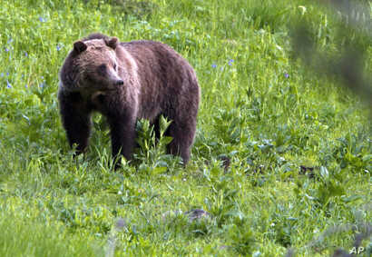 FILE - This July 6, 2011, file photo shows a grizzly bear roaming near Beaver Lake in Yellowstone National Park, Wyoming.
