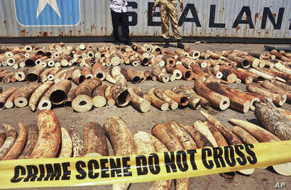 FILE - Kenyan officials in Mombasa display some of more than 1,600 pieces of illegal ivory found hidden inside bags of sesame seeds in freight traveling from Uganda, Oct. 8, 2013.