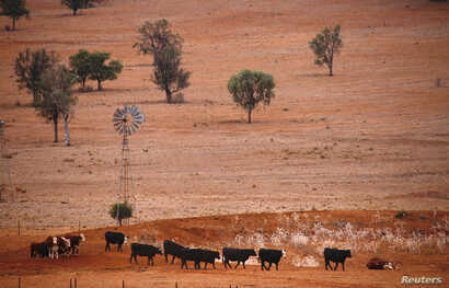 Cattle walk past an empty dam and old windmill in a drought-affected paddock on a property located west of the town of Gunnedah, located in the northwest of New South Wales in Australia, June 8, 2018.
