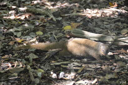 The mongoose was brought to the Virgin Islands to kill rats in the sugar cane fields. But they preyed largely on native bird and turtle eggs.