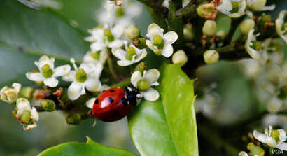A multicolored Coccinellidae septempunctata, commonly known as seven spotted ladybug or ladybird walks on a leaf in a house garden in Virginia. (Photo: Diaa Bekheet)