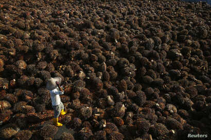 A worker collects palm oil fruit inside a palm oil factory in Sepang, outside Kuala Lumpur June 18, 2014.