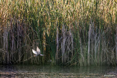 A whiskered tern (Chlidonias hybrida) flies off after catching a frog on one of the lakes inside Vacaresti wetlands, in Bucharest, Romania, July 23, 2016.