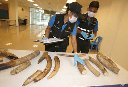 FILE - Forensic officers inspect ivory seized at the customs department in the Suvarnabhumi International Airport in Bangkok, Thailand, Sept. 22, 2017.