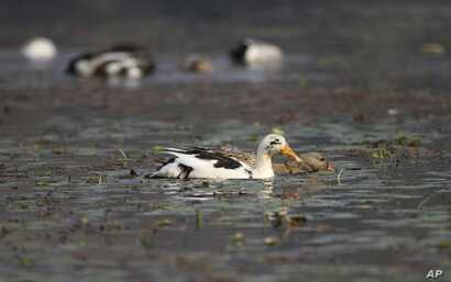 Ducks swim on the waters of Wular Lake, northeast of Srinagar, Indian-controlled Kashmir, Oct. 29, 2016. India has realized a vast, alpine lake in Kashmir would be worth more pristine than exploited for resources.