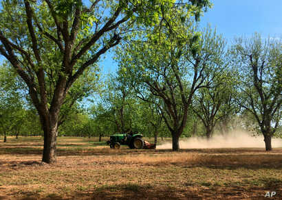A worker mows between rows of pecan trees at a 14,000-acre farm, April 24, 2018, near Granbury, Texas.