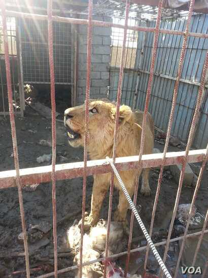 The surviving lion of Mosul's Murur Park Zoo, Feb. 2, 2017. (Credit: Kurdistan Organization of Animal Rights Protection)