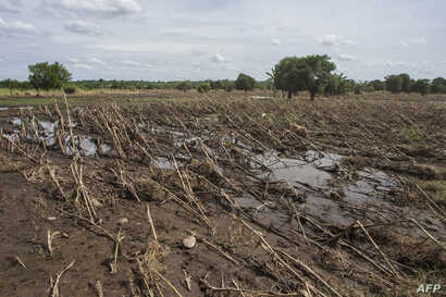 A picture shows a maize crop field March 14, 2019, destroyed by flash floods the previous week in the Chikwawa district of southern Malawi.