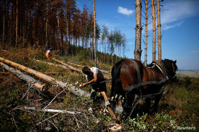 A worker ties a pine tree to a horse to pull it down before cleaning up the area after the tree, which was affected by bark beetle attacks, was cut down near the town of Breznik, Bulgaria, Sept. 8, 2016.