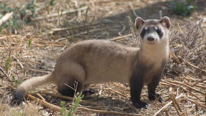 Recovery efforts have helped restore the black-footed ferret population to nearly 300 animals across North America, but threats remain.