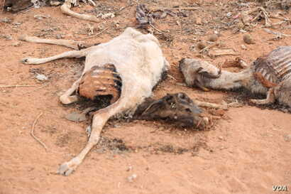The carcass of a dead animal lies in the middle of a street in the Sool region of Somaliland. (Photo: A. Osman / VOA)