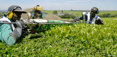 FILE - Kenyan workers pluck tea leaves using a machine at a tea farm in Kericho, Oct. 10, 2004.